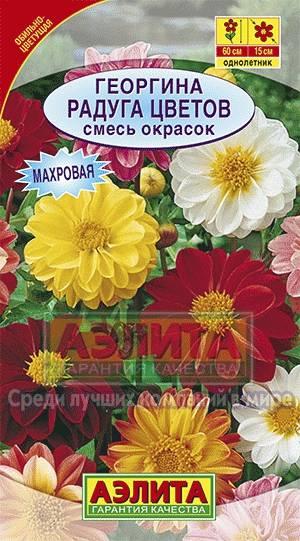 Цветы георгина радуга